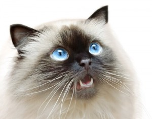 Himalayan-cat-health-1